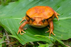 One large orange frog is sitting on a green leaf