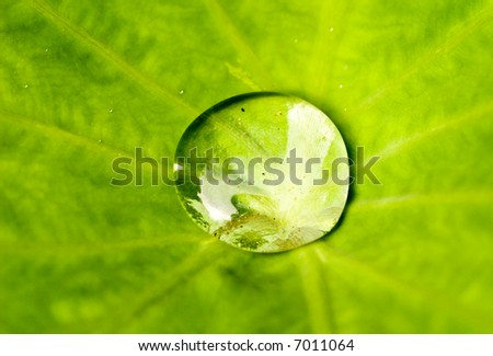 One Large Water Drop in the Cente of a Large Leaf