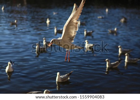 One larus ridibundus was spreading its wings and catching the  breadcrumbs at the park of Kunming Cuihu Lake in the year 2013