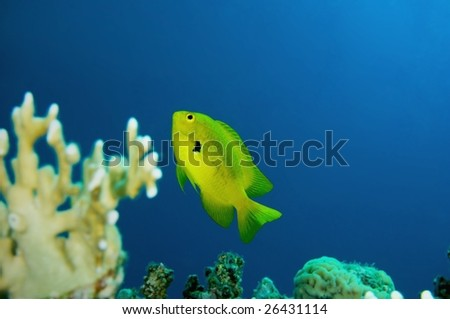 One Lemon Damselfish against Reef and Blue Background