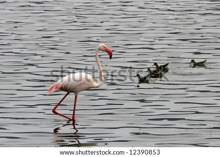 One Lesser Flamingo wading in water beside group of small birds. Lake Bogoria National Park. Kenya