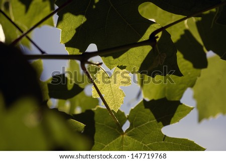 One light green wine leaf among other dark leaves.