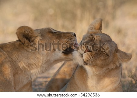 One lioness grooming another in the kalahari desert, south africa