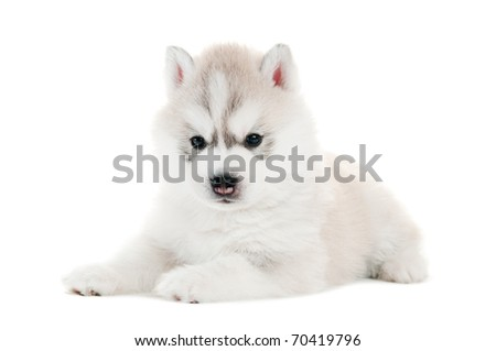 one little cute puppy of Siberian husky dog isolated