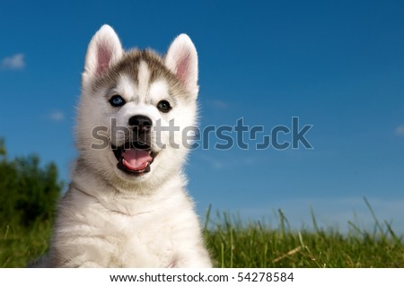 One Little cute puppy of Siberian husky dog outdoors