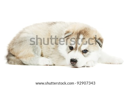 one little puppy Siberian husky dog of one month on white background