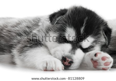 one little sleeping puppy Siberian husky dog of three month isolated on white background
