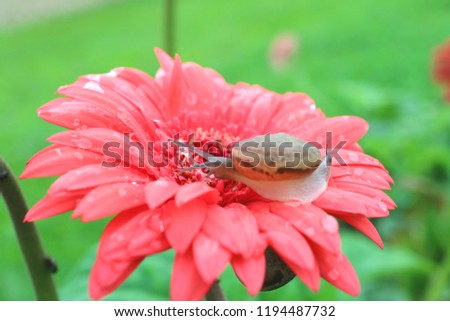 One little snail relaxing on vibrant pink blooming Gerbera flower with many water droplets after the rain #1194487732