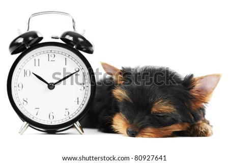 One little Yorkshire Terrier (3 month) puppy dog with alarm clock isolated over white background