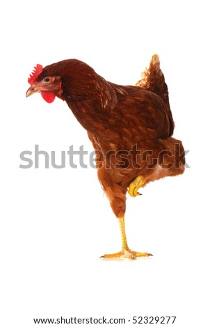 One live hen isolated on white background