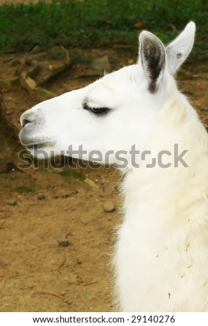 One llama.White animal on natural background