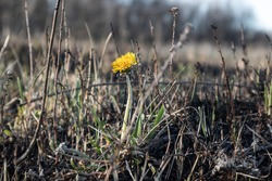 One lonely yellow dandelion flower on burned down black field after fire. Spring burning fields close-up. Ecological problem, grass growing from ashes