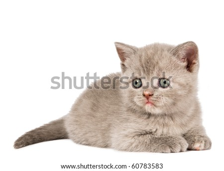 One lying British short-hair kitten cat of blue shade isolated