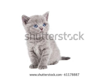 One lying british shorthair kitten cat of blue shade isolated