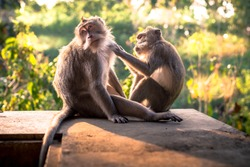One macaque monkey grooming another while sitting on a wall at the Monkey Forest Sanctuary in Ubud, Bali, Indonesia