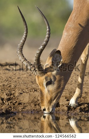 One male Impala (Aepyceros melampus) drinking water, Botswana
