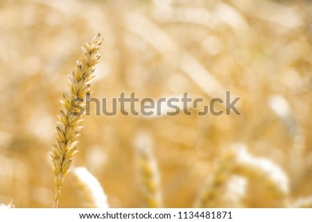 Stock Photo One mature wheat spike growth on blurred field bokeh. Golden agriculture cereal harvest growing in nature. Raw food plant