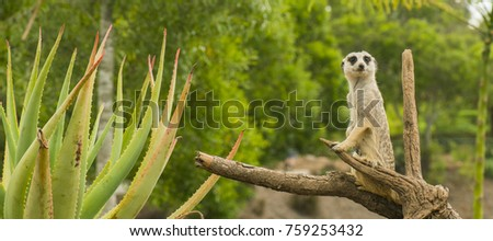 One meerkat looking around during the day.