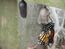 One Monarch butterfly just hatched out of its cocoon and one ready to hatch any moment