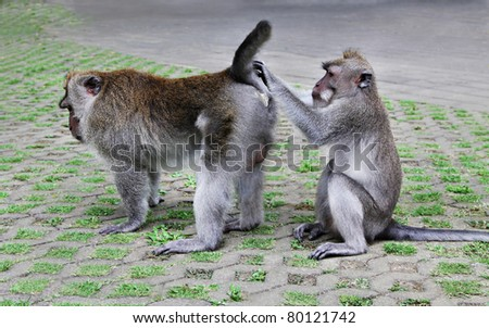 One monkey searching fleas from another monkey - stock photo