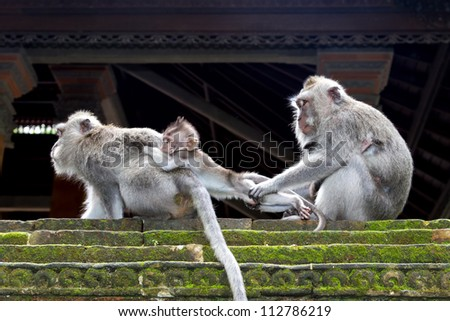 One monkey takes child away from another, Ubud, Bali, Indonesia