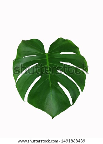 One Monstera leaf on a white background