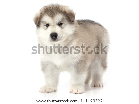 One month old alaskan malamute puppy isolated over white