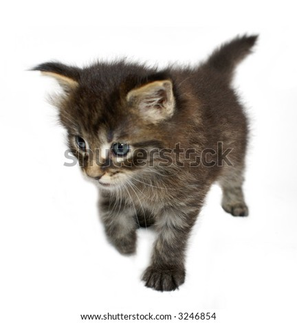 one month old cat maine coon - stock photo