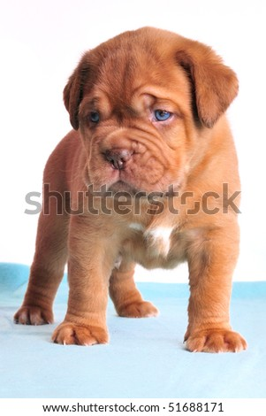 One month old Dogue De Bordeaux puppy on a blue carpet