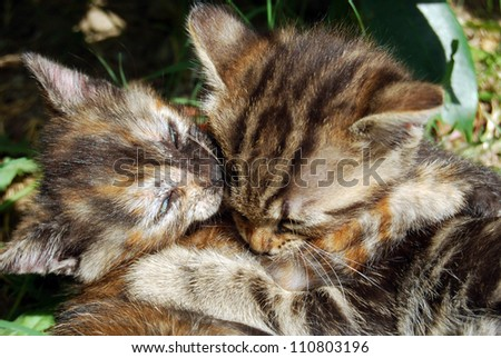 One more kiss - Tenderness between two kittens
