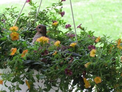 one mourning dove parent sits on a nest they built in a hanging basket of flowers; Harrisonburg, VA, USA
