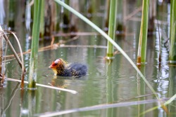 One nestling fulica atra bird swims in a pond among the reeds. Green reeds are reflected in the water.