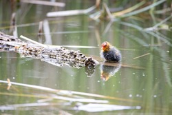 One nestling fulica atra bird swims in a pond next to a tree log. Green reeds are reflected in the water.