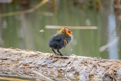 One nestling fulica atra stands on a log against the backdrop of a pond.