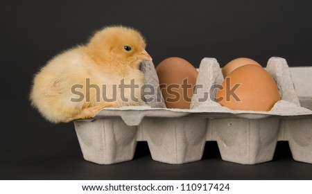 One Newborn Chicken sits with some fresh eggs in a carton baby chick