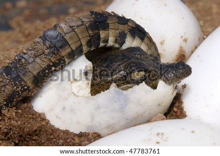 One Nile Crocodile curcled up inside it's egg about to hatch