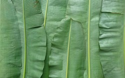 One of benefits of banana leaves is its ability to increase immunity or immunity. banana leaves have polyphenols which are important antioxidant compounds for protecting the body from free radicals