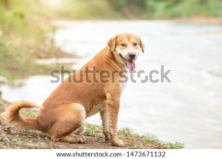 One of brown dog (pure breeds or Thai breeds) sitting near the river #1473671132