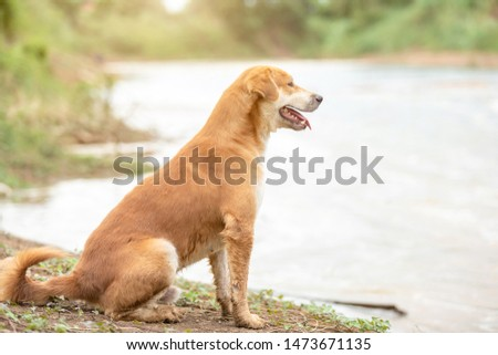 One of brown dog (pure breeds or Thai breeds) sitting near the river #1473671135