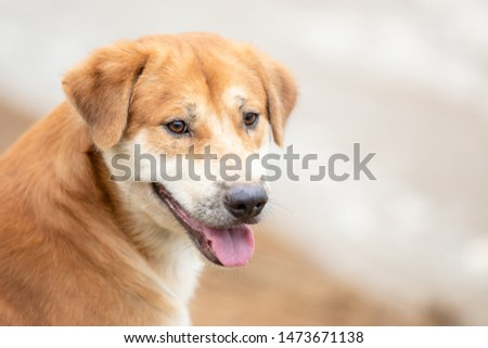 One of brown dog (pure breeds or Thai breeds) sitting near the river #1473671138