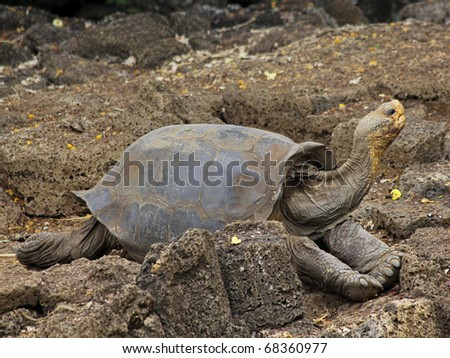 One of Lonesome George's female companions: a Galapagos Giant Tortoise (Geochelone nigra ssp.) from Wolf Volcano, located on Isabela in the Galapagos Islands (Island)