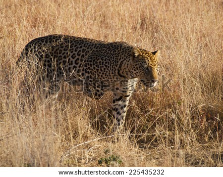 One of Madikwe Game Reserve\'s usually shy male leopards out and about in the middle of the afternoon