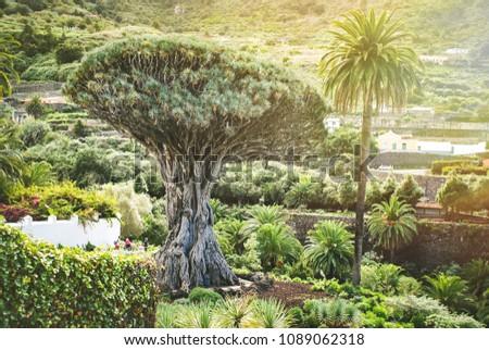 One of the famous attractions of Tenerife and natural symbols - ancient Dragon Tree (El Drago) in Parque del Drago in Icod de los Vinos.