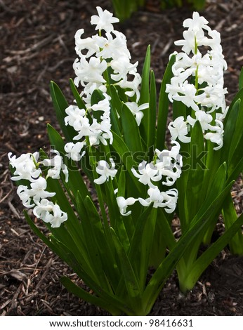 One of the first to bloom in early spring is the perennial hyacinth plant.  Delicate white blossoms amid spiked rich green leaves photographed in open shade