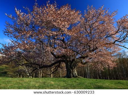 One of the kamegamori cherry tree #630009233