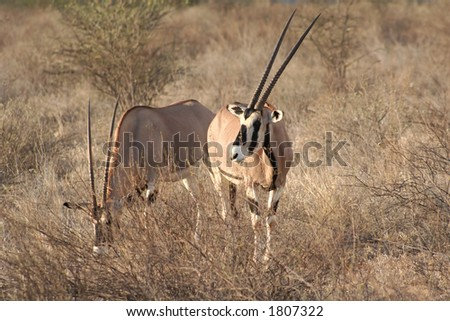 one of the largest antelopes, often called the swordsman of the Plains due to its horns