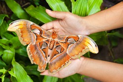 One of the largest butterfly in the world attacus atlas sits on a traveler hand people on a white background