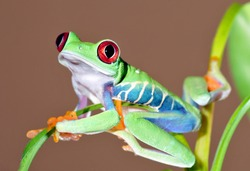 one of the most beautiful creatures on planet earth:the red eyed tree frog (agalychnis callidryas).