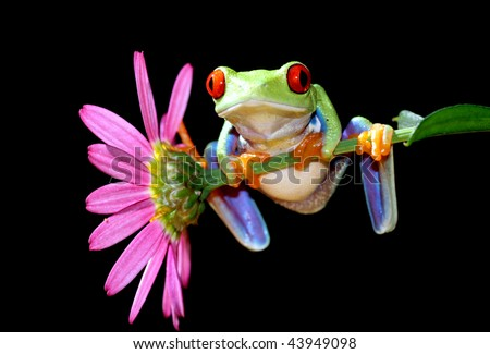 one of the most beautiful creatures on planet earth the red eyed tree frog agalychnis callidryas