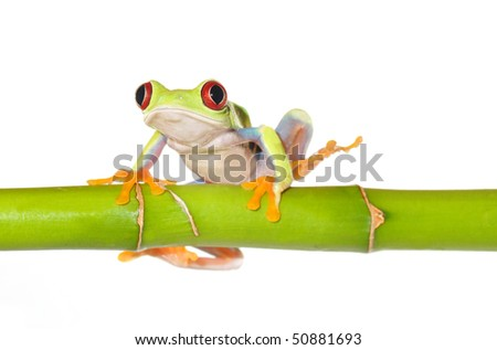 one of the most beautiful creatures on planet earth:the red eyed tree frog (agalychnis callidryas) sitting on a bamboo stick isolated on white.